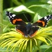 Red Admiral by susiemc