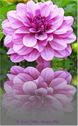 4th Sep 2014 - Dahlia And Reflection