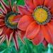 Gazania Blooms by ziggy77