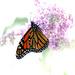 Monarch butterfly! by fayefaye