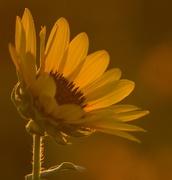4th Sep 2014 - Sunflower at Sunset