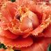 Fringed Tulip by denisedaly