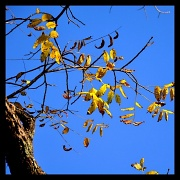 17th Oct 2010 - Golden Leaves