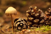 6th Sep 2014 - Mushroom and the Pinecones