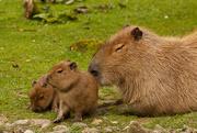 7th Sep 2014 - Capybara