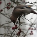 365-Waxwing IMG_1295 by annelis
