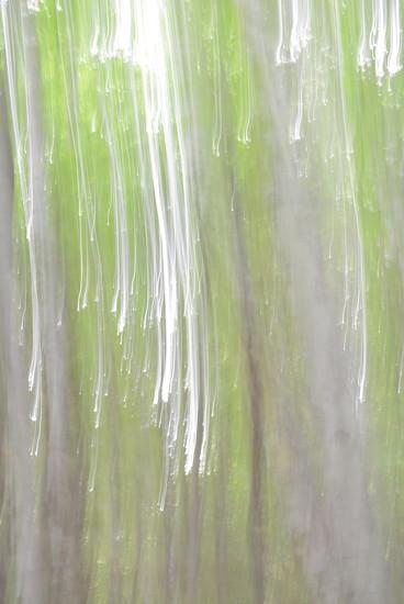 Birches  by kathiecb