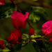 Bougainvillea 2 by shesnapped