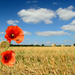 Poppies by richardcreese