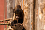 10th Sep 2014 - Golden-Bellied Capuchin