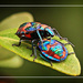 Harlequin beetles by rustymonkey
