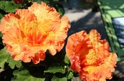 10th Sep 2014 - Hibiscus at the San Diego Zoo