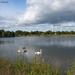 Swans, Hammonasset State Park