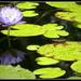 Waterlily by ubobohobo