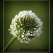Beauty in a clover by rustymonkey