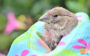 11th Sep 2014 - Little Finch