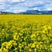 Canola Field on the Darling Downs