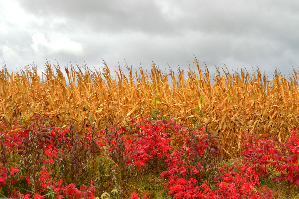 Flaming Sumac, Parched Corn, Charcoal Sky by kareenking
