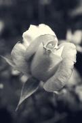13th Sep 2014 - Rose