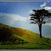 Mt Wellington... lone tree.. by julzmaioro