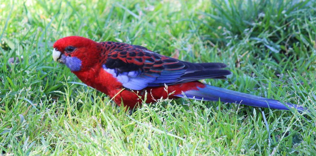 Crimson Rosella by flyrobin