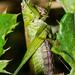 Grass hopper - 14-09 by barrowlane