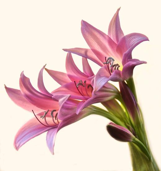 Lilys by joysfocus