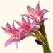 Lilys on 365 Project