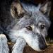 The Grey Wolf by exposure4u