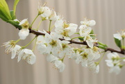 6th Sep 2014 - Pears in blossom