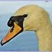 Swan In Profile by carolmw