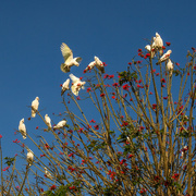 15th Sep 2014 - Parrots on Coral tree