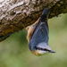 Nuthatch 16-09 by barrowlane