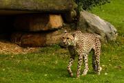 17th Sep 2014 - Cheetah