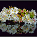 Cherry Blossom... by julzmaioro