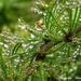 Dewdrops by craftymeg