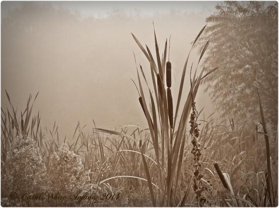 Reeds In The Mist by carolmw