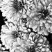 Infrared Mums by skipt07