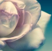 19th Sep 2014 - Rose in Macro