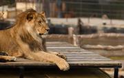 20th Sep 2014 - Lion