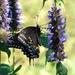 Eastern Tiger Swallowtail Butterfly by khawbecker