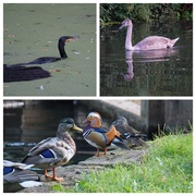21st Sep 2014 - Waterfowl of West Byfleet Canal