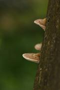21st Sep 2014 - Mushroom on Tree Trunk