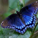 Red-spotted Purple by cjwhite