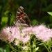 Wall Brown Butterfly by khawbecker