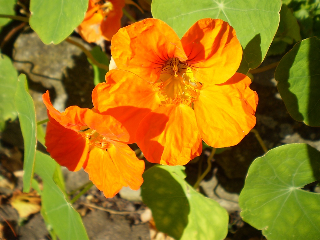The last of the Nasturtiums. by snowy