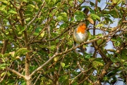 22nd Sep 2014 - Robin in a Tree
