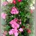 Geranium and Fuchsia   by beryl
