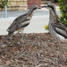 Stone Curlews by terryliv