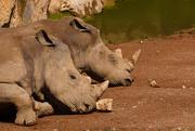 22nd Sep 2014 - World Rhino Day